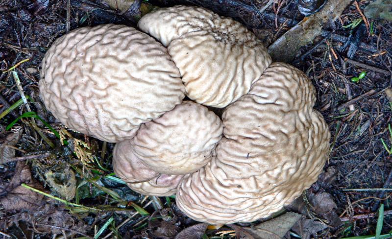 Brain Puffball Fungus