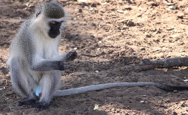 Vervet Monkey as the Tokoloshe
